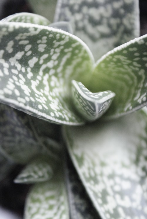 elizabethdanon.co.uk succulent close up